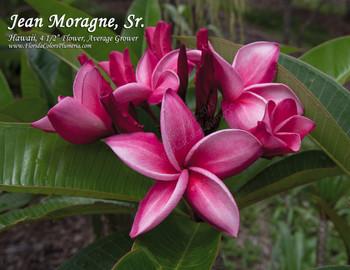 Jean Moragne Sr (rooted) Plumeria