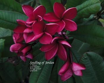 Jordan FCN (rooted)  Plumeria