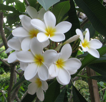 Madame Galibert (rooted) Plumeria