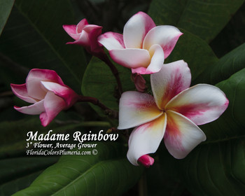 Madame Rainbow (rooted)  Plumeria