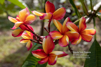 Makaha Sunn (grafted with roots)  aka Sunkist, Inferno Plumeria