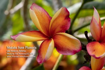 Makaha Sunn (grafted with roots)  aka Sunkist, Inferno Plumeria