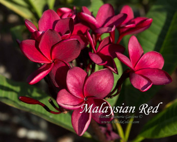 Malaysian Red (rooted)  Plumeria
