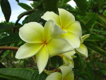 Naples Yellow FCN (rooted) Plumeria