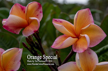 Orange Special  (rooted) Plumeria