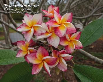 Riviera Rainbow (rooted) Plumeria