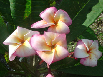 San Diego Sunset (rooted) Plumeria