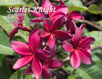 Scarlet Knight (rooted) aka Wildfire Plumeria