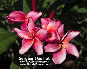 Sergeant Guillot FCN  (grafted with roots) Plumeria