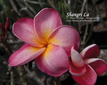 Shangri La (rooted)  Plumeria