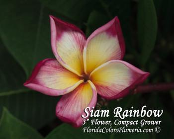 Siam Rainbow (rooted) Plumeria