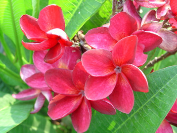 Siam Red (rooted) Plumeria