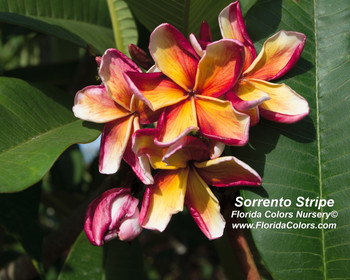 Sorrento Stripe (rooted) Plumeria