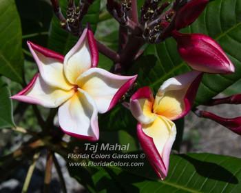 Taj Mahal (rooted) Plumeria