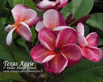 Texas Aggie (Grafted with roots)  Plumeria