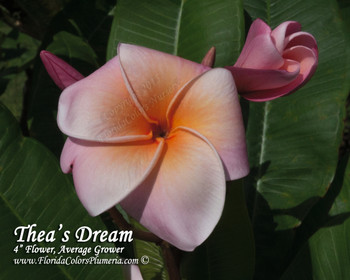 Thea's Dream FCN (rooted) Plumeria