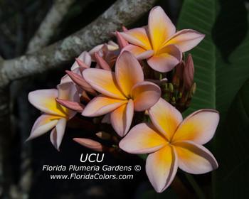 UCU  (rooted)Plumeria