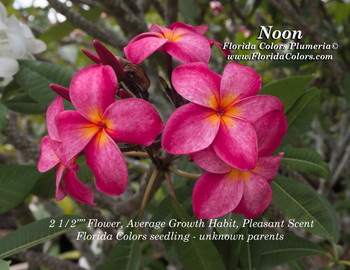 Noon FCN (rooted) Plumeria