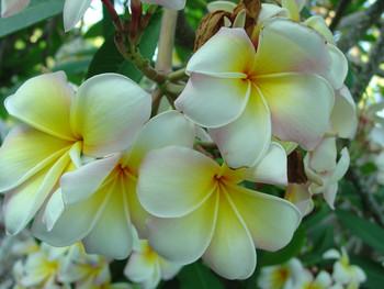Mareno's Rainbow (rooted) Plumeria