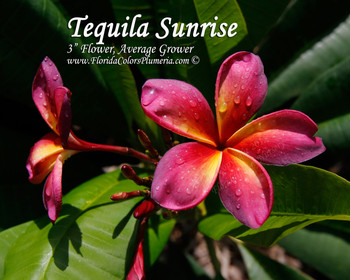 Tequila Sunrise (grafted with roots) Plumeria