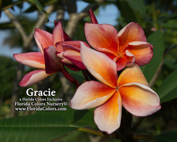 Gracie FCN (rooted) Plumeria