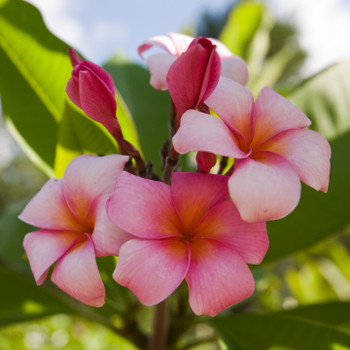 Mele Matson  (rooted) Plumeria