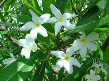 P. Cubense (rooted) Plumeria