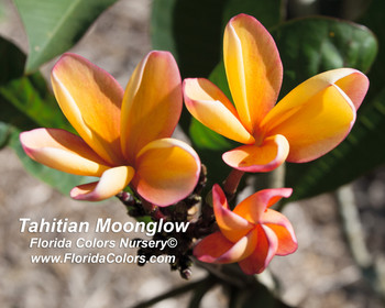 Tahitian Moonglow (Grafted with roots) aka University of Hawaii Orange Plumeria