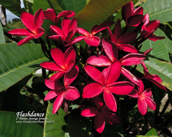 Flashdance FCN (rooted )  Plumeria