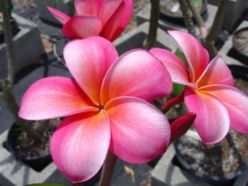 Lani Beauty Plumeria
