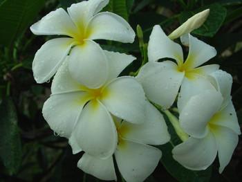 Singapore (rooted) aka P. obtusa Singapore White Plumeria