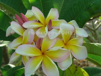 Hawaiian Church (rooted) Plumeria