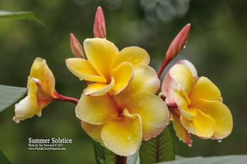 Summer Solstice (rooted) Plumeria