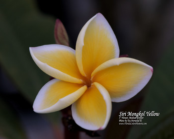Siri Mongkol Yellow (rooted) Plumeria
