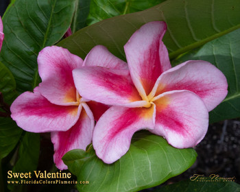 Sweet Valentine (grafted with roots) Plumeria