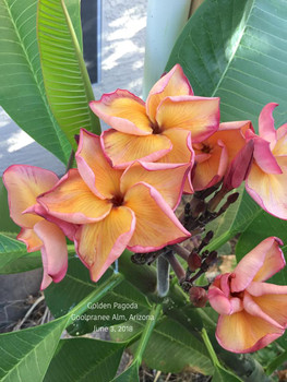 Golden Pagoda JL (grafted with roots) Plumeria
