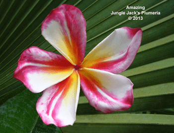 Amazing JJ (grafted with roots) Plumeria