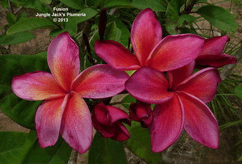 Fusion JJ (rooted) Plumeria