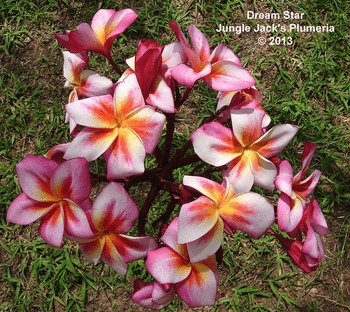 Dream Star JJ (grafted with roots) Plumeria