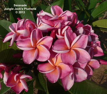 Serenade JJ (grafted with roots) Plumeria