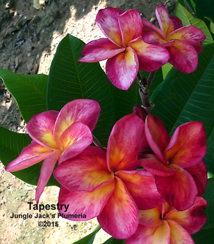 Tapestry JJ (grafted with roots) Plumeria