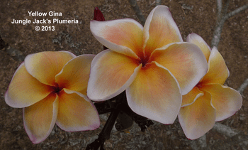 Yellow Gina JJ (grafted with roots) Plumeria