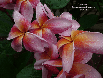 Volare JJ (grafted with roots) Plumeria