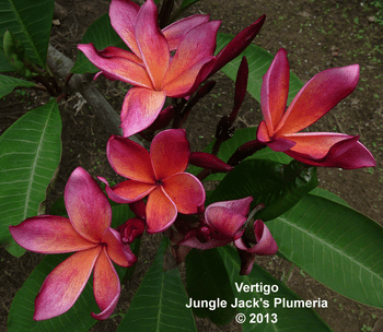 Vertigo JJ (grafted with roots) Plumeria