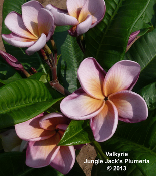 Valkyrie JJ (grafted with roots) Plumeria