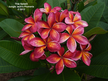 Thai Splash JJ (rooted)  Plumeria