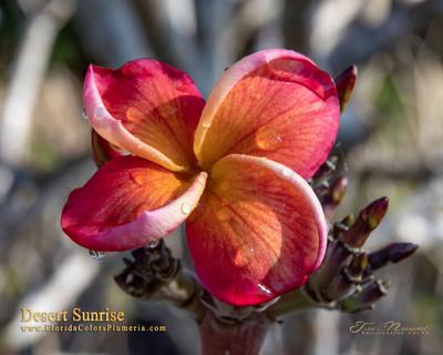 Desert Sunrise JJ Plumeria