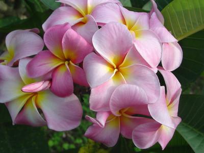 Maui Beauty Plumeria