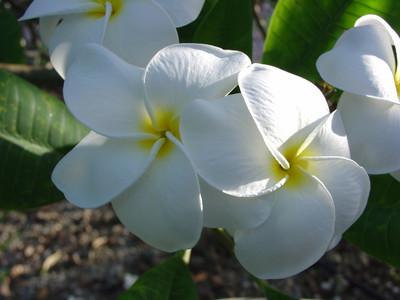 Samoan Fluff Plumeria