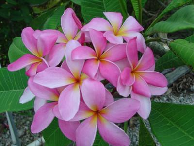 Cancun Pink Plumeria